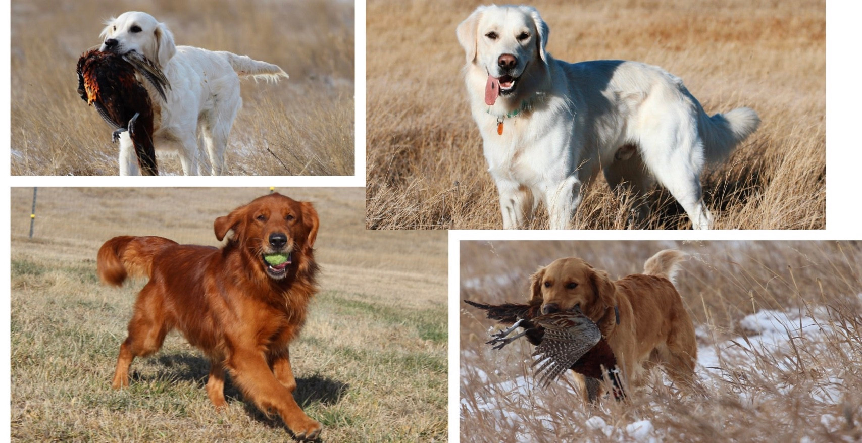 Wyoming Sky Goldens | Gilette,WY | AKC Health Tested