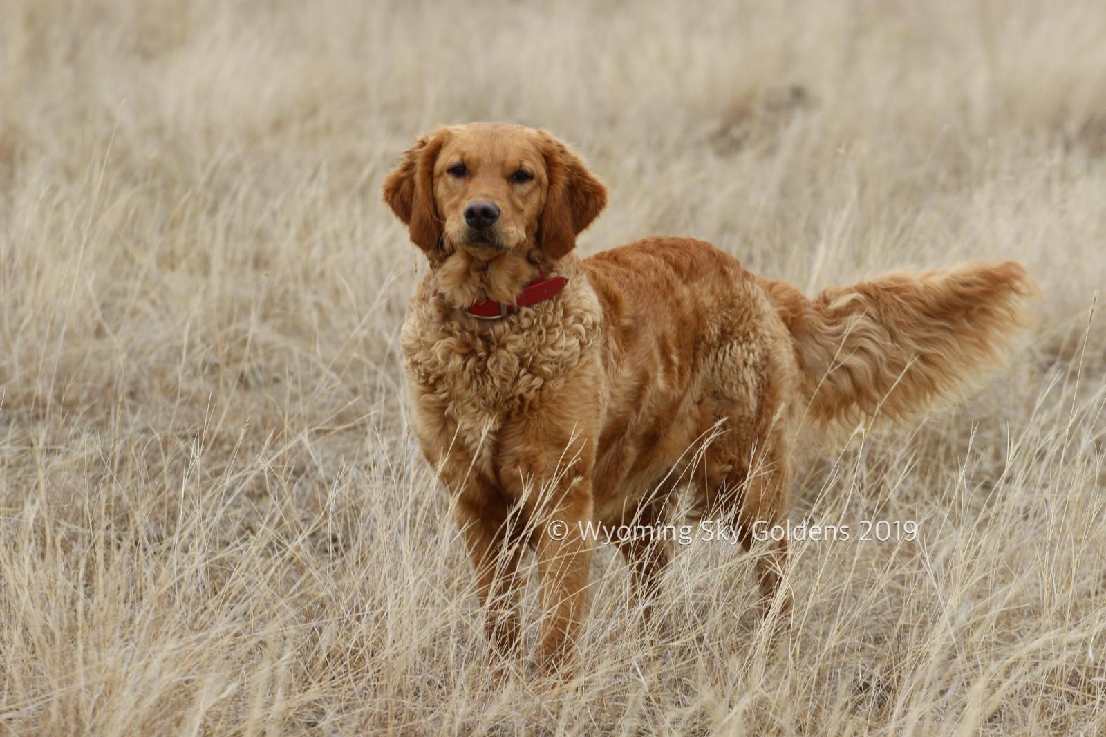 Lexi, Wyoming Sky Goldens