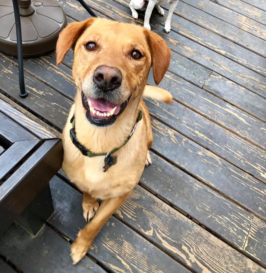 Meet Our Labs/ Lab Rescue of Greater Richmond