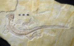 Fossil rhynchocephalian