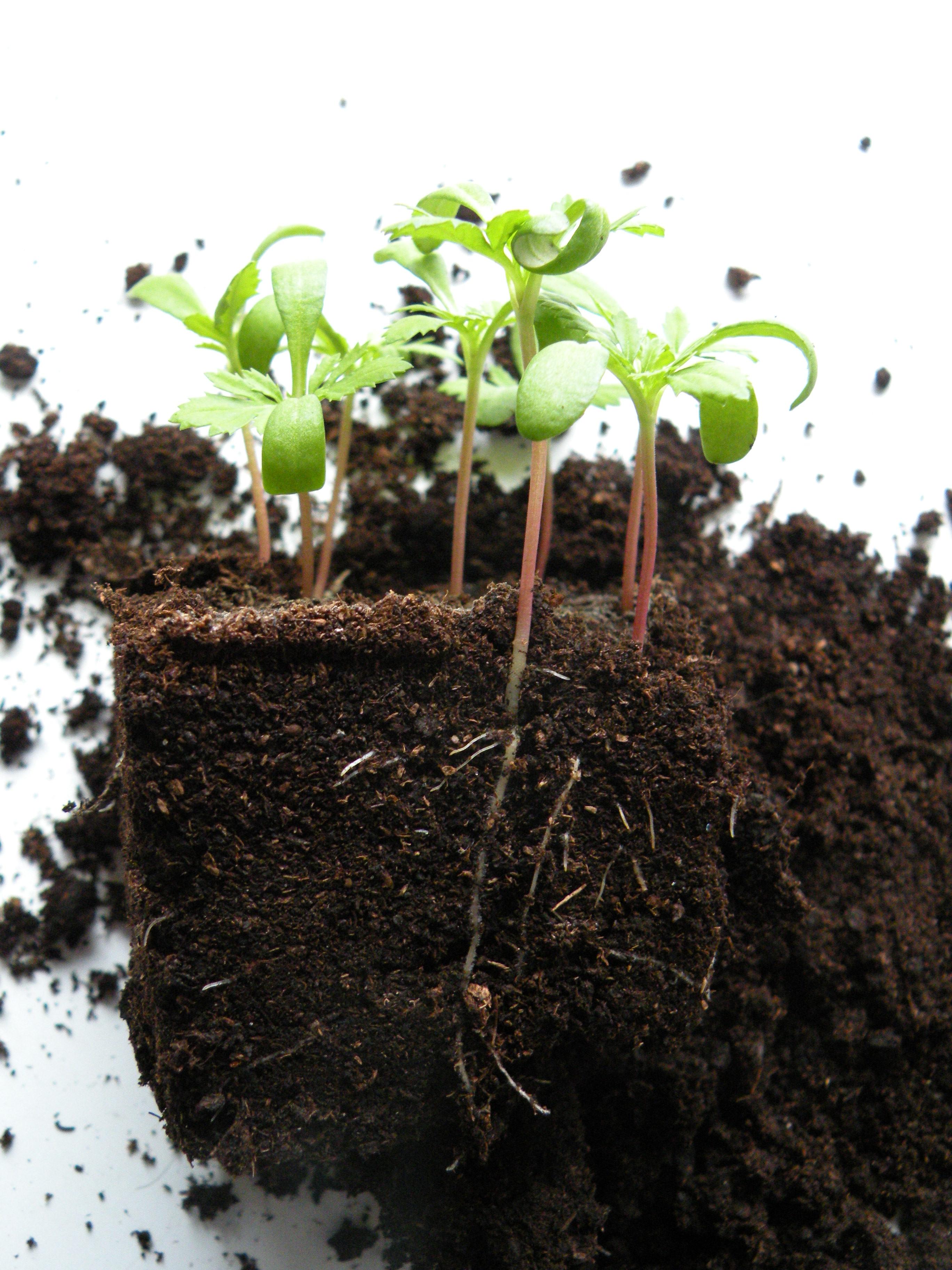 planter lirket ud af potten