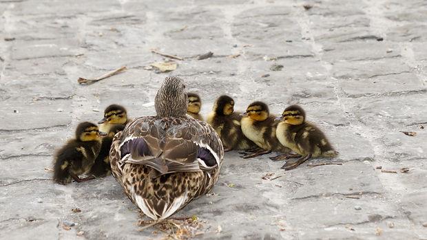 waterfowl-mallard-young-young-duck-15986