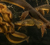 March-of-the-Newts-380x338.jpg