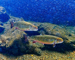 Vermont Trout on a Starry Starry Night_J