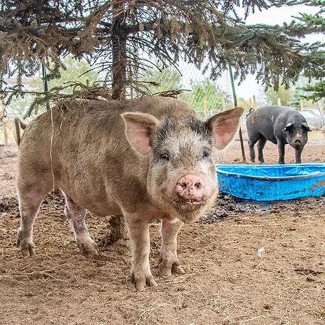 two pigs-1.jpg