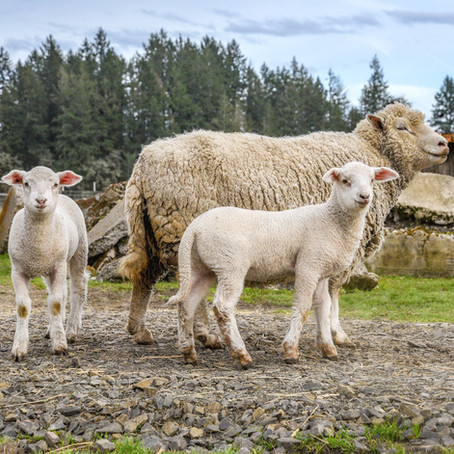 5 Amazing Facts About Sheep