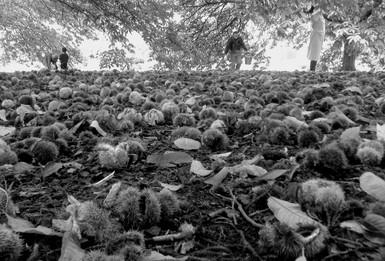 Chestnuts Harvest