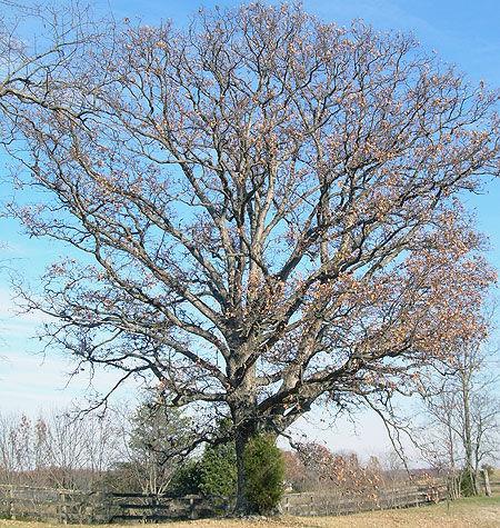Kentucky-Oak.jpg