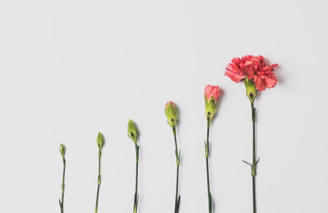 A row of 6 carnations at different stages of bloom