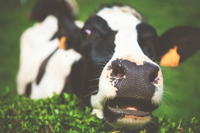 A cow peering over a hedge