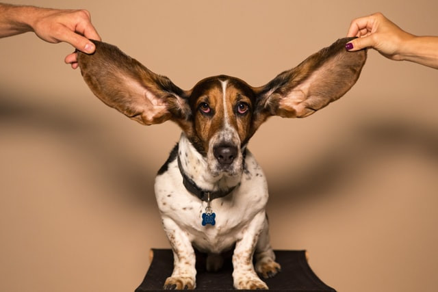 A basset hound having his ears pulled out wide