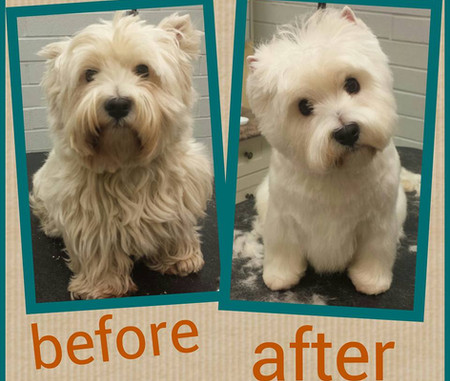 westie before & after