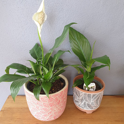 Spathiphyllum assorted