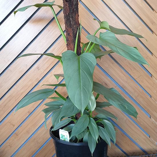 PhilodendronSilver SwordTotem