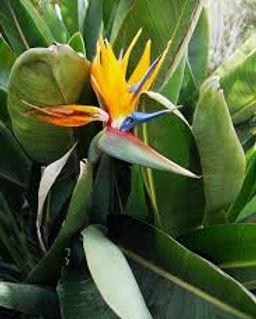 bird of paradise.jpeg