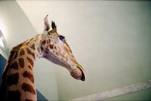 girafe, musée spécola, florence