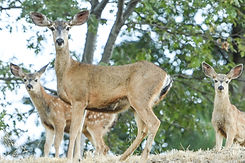 deer web.jpg