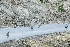 quail web.jpg
