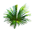 folhas buriti.png