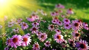 """Echinacea: """"Missouri Snakeroot"""" """"Coneflower"""""""