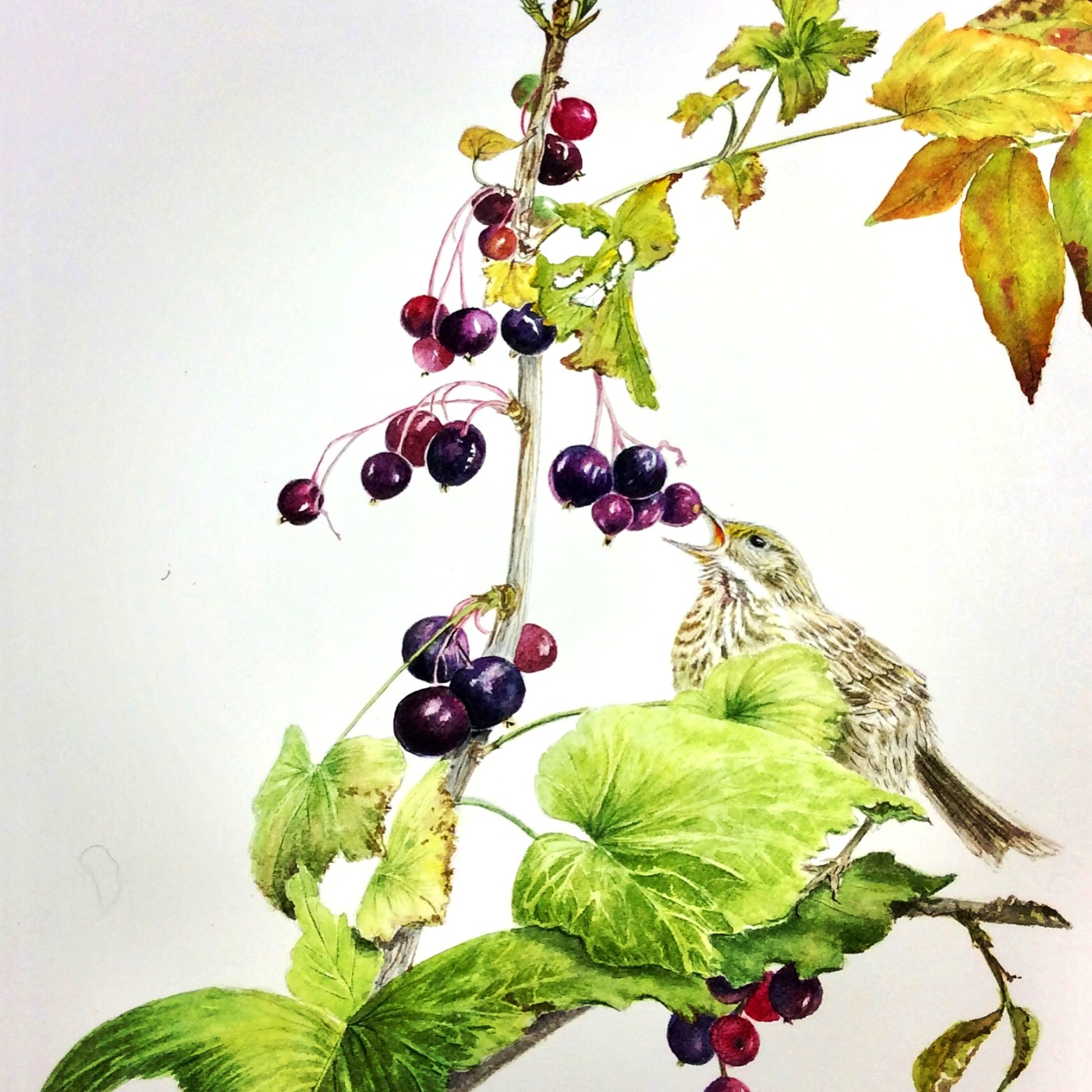 Blackcurrants and Fledgling