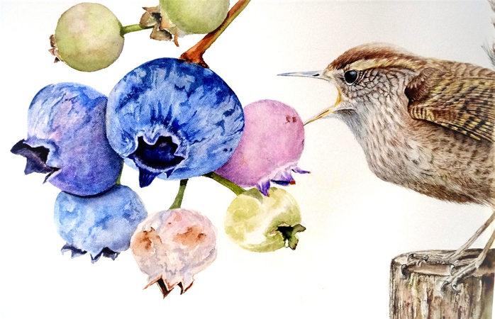 Wren eating blueberries