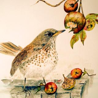 Fieldfare eating apples.jpg