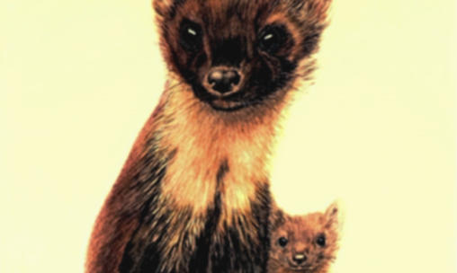 PINE MARTEN AND CUB