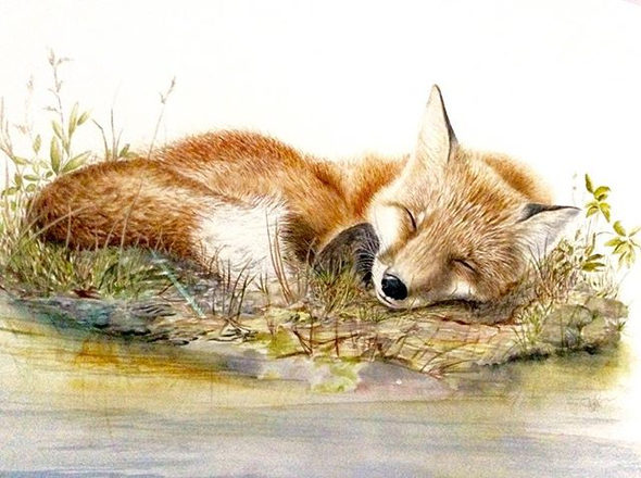 Sleepy Red Fox