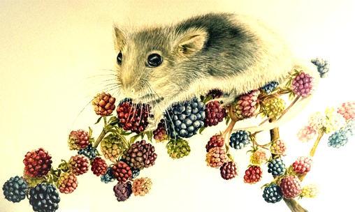 Dormouse eating berries