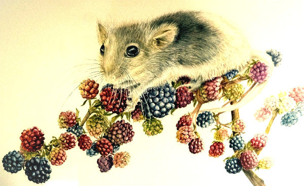 Dormouse eating berries