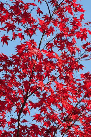 แนะนำจุดชมใบไม้เปลี่ยนสีที่ เกียวโต