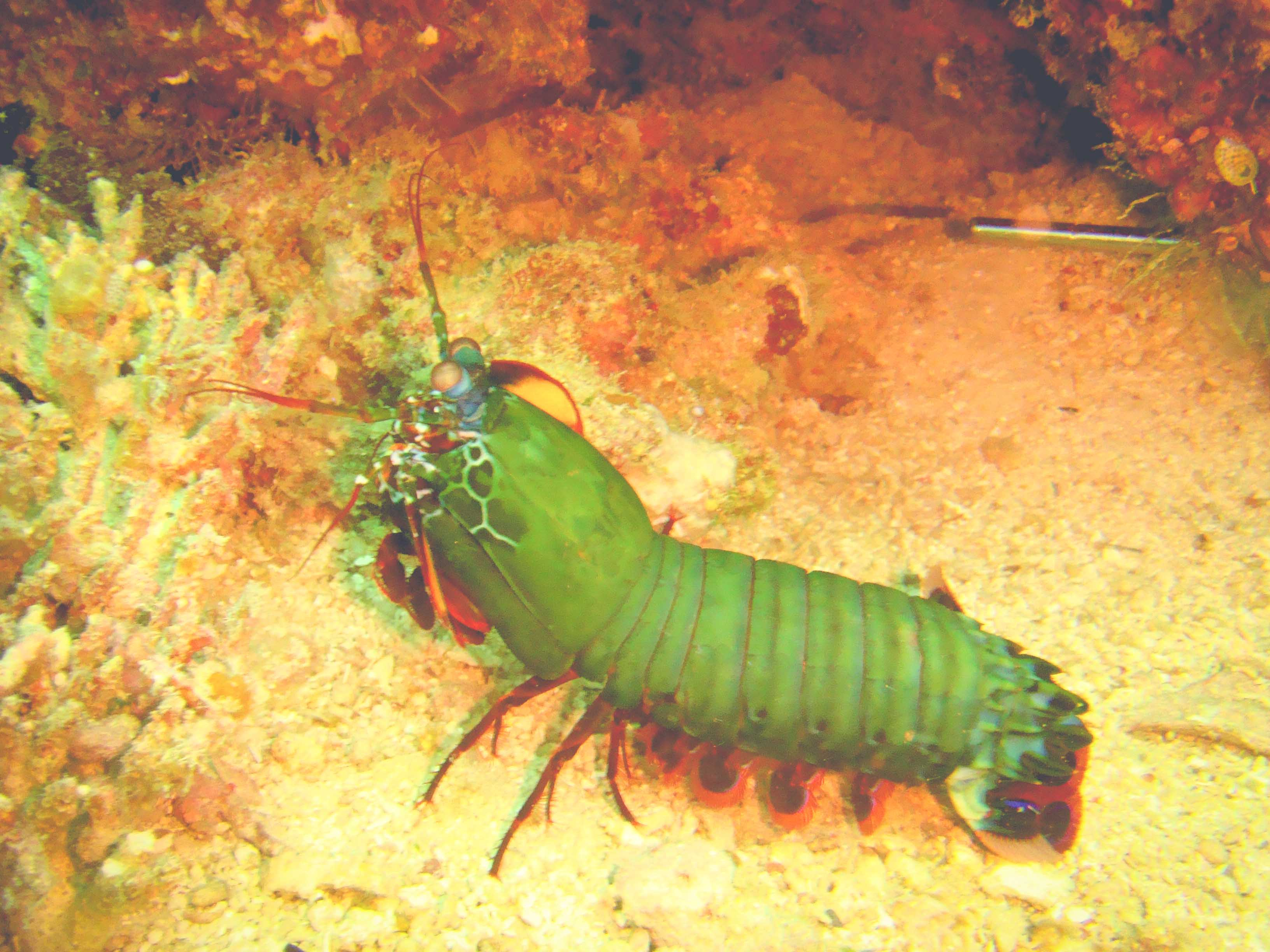 Mantis Shrimp Boxer
