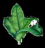 green-banana-leaves-png-clipart_edited.p