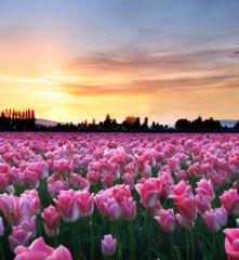 Tulips Sunset.jpg