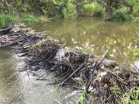 Urban Beavers Attract Attention