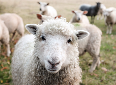 Sheep That Bite: Conflicts in the Church