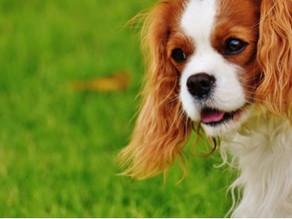 O cuidado com as orelhas de seu pet