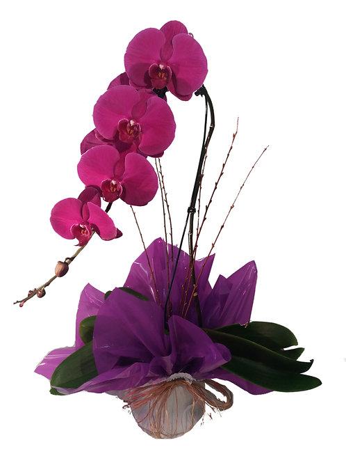 Orquidea Phalaenopsis Cascata no pano