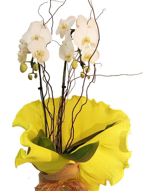 Orquídea especial com duas hastes