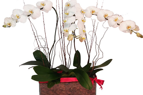 Jardineira com 3 Orquideas Phalaenopolis