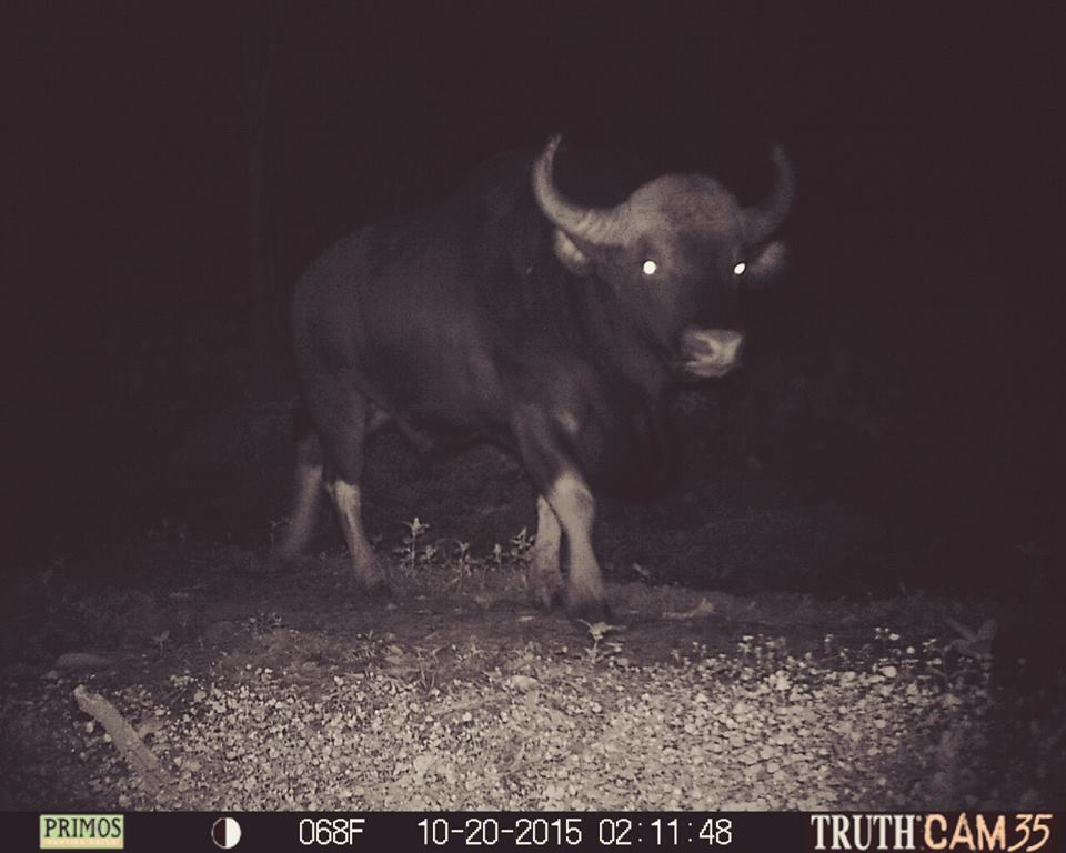 Indian Gaur Bull at Kerehaklu