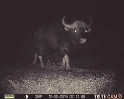 Indian Gaur Bull at Kerehaklu