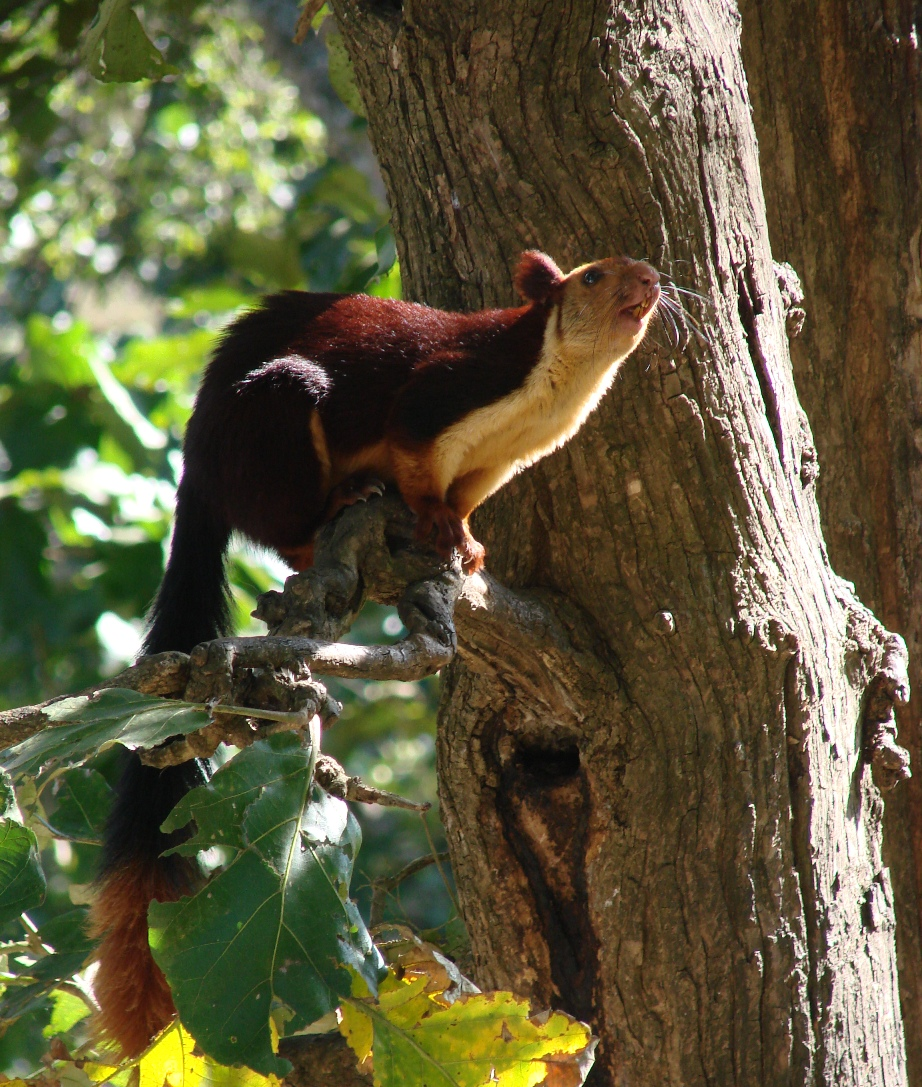 A Malabar Squirrel in Kerehaklu