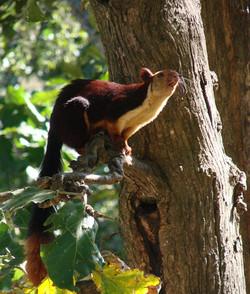 A Malabar Squirrel in Kerehaklu