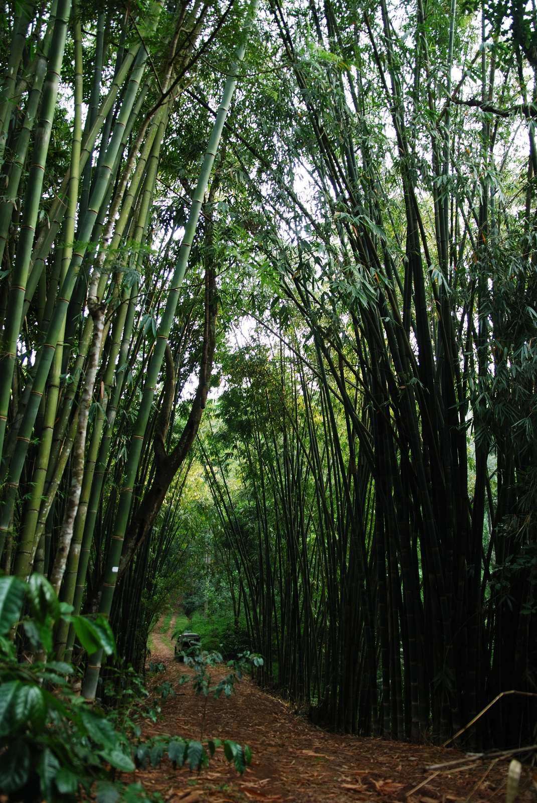 Our Burmese Bamboo groves