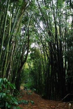 Our Burmese Bamboo groves