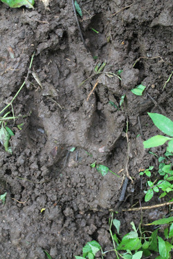 Tiger Pug mark at Kerehaklu