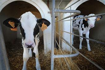 JMcArthur_DairyVealFarm_-9736.jpg