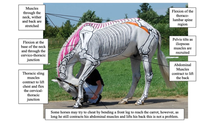 Keeping your horses back supple